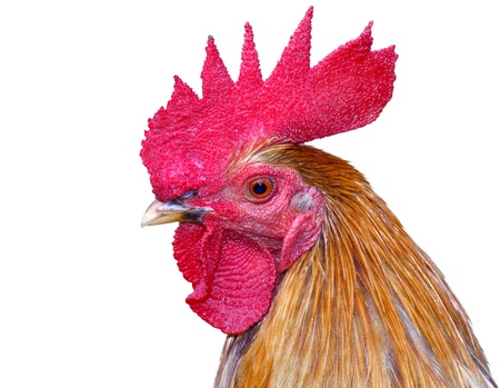 Thai red rooster head on white background  Imagens