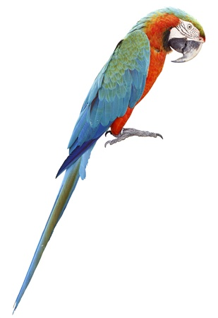Colorful orange parrot macaw isolated on white background photo