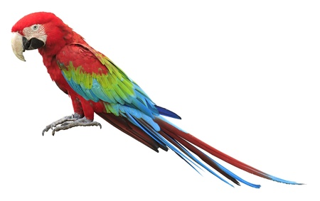 Colorful red parrot macaw isolated on white background photo