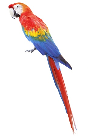 Colorful red parrot macaw isolated on white background 版權商用圖片 - 18620411