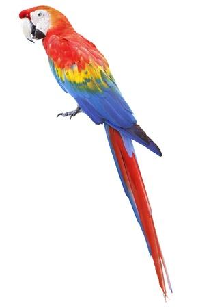 parrot: Kleurrijke rode papegaai ara geïsoleerd op witte achtergrond Stockfoto