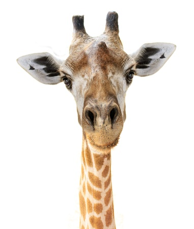 Giraffe head face look funny isolated on white background 版權商用圖片 - 18620529