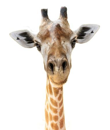 Giraffe hoofd gezicht kijken grappig op een witte achtergrond Stockfoto