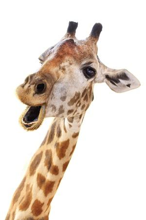 animales safari: Cara Giraffe cabeza mira divertido aislado sobre fondo blanco