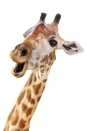 funny animal: Giraffe head face look funny isolated on white background