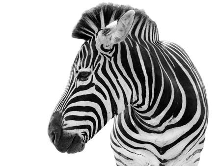 Man zebra geïsoleerd op witte achtergrond Stockfoto