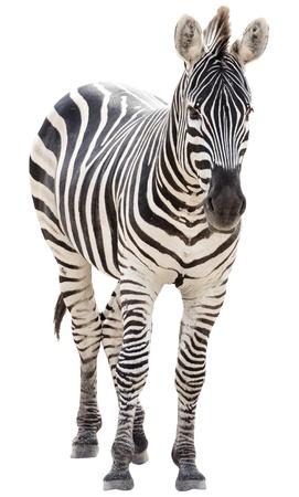 Male zebra isolated on white background photo