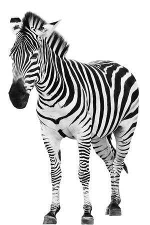 Male zebra isolated on white background photo