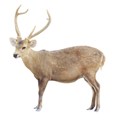 young male deer isolated on white background photo