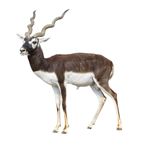 Black buck antelope isolated on white background photo