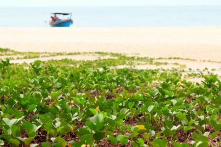 pes caprae: Ipomoea pes-caprae sweet on a beach