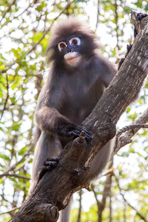 dusky: Dusky langur monkey