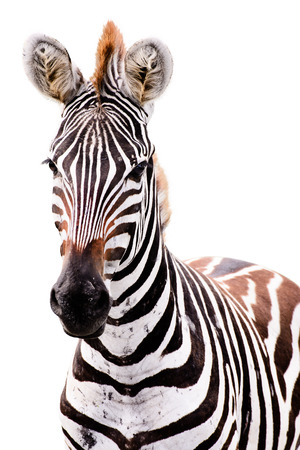 Young male zebra isolated on white