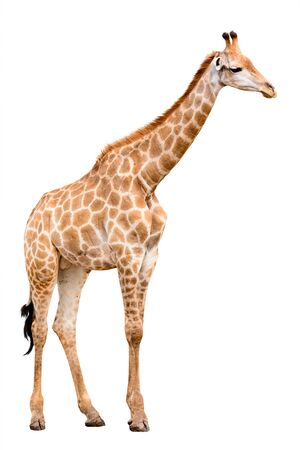 giraffa camelopardalis: Giraffe isolated on white  Stock Photo