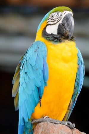 parot: Gold blue parrot macaw Stock Photo