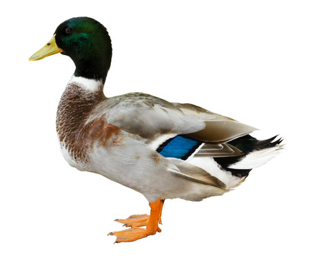Mallard duck isolated on white