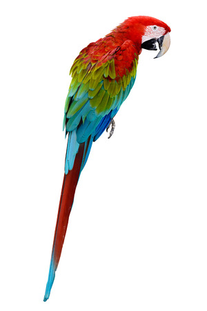 parot: Red parrot macaw Stock Photo