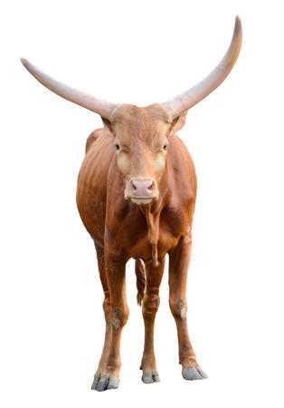 buey: Fuerte rojo toro toro marr�n aislados sobre fondo blanco