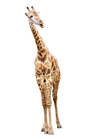 giraffa camelopardalis: Giraffe isolated on white background