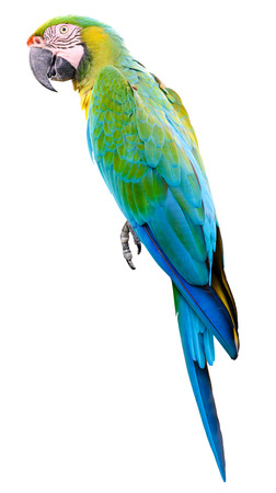 parot: Green blue parrot macaw isolated on white background