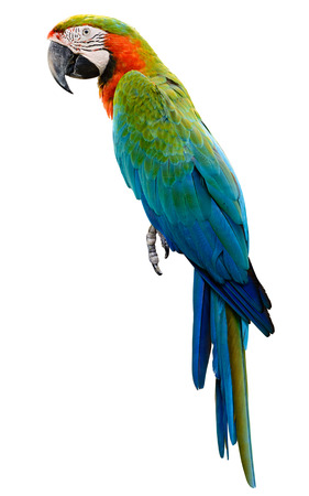 blue parrot: ange green parrot macaw isolated on white background