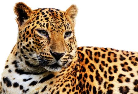 Leopard  版權商用圖片