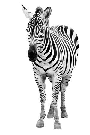 isolated  white: Giovane zebra maschio isolato su sfondo bianco Archivio Fotografico