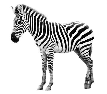 Jonge mannelijke zebra geïsoleerd op witte achtergrond Stockfoto