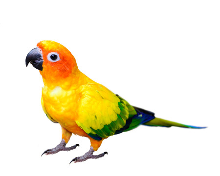 Sun Conjure parrot macaw isolated on white