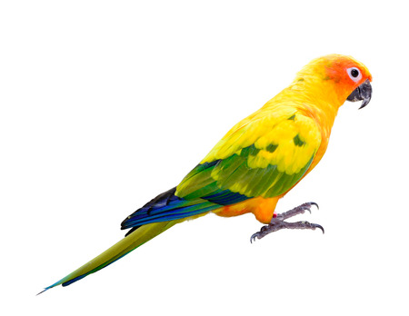 Sun Conjure parrot macaw isolated on white  photo