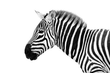 Young male zebra isolated on white background