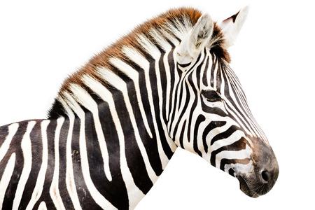 Jonge mannelijke zebra hoofd op een witte achtergrond