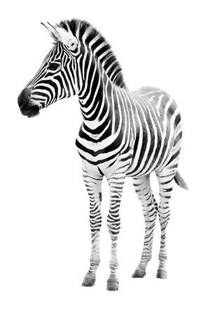 Mannelijke zebra op een witte achtergrond