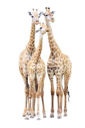 giraffe: Giraffe family isolated on white background Stock Photo