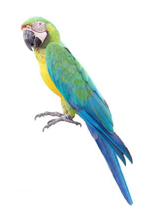 Colorful blue parrot macaw isolated on white background Imagens