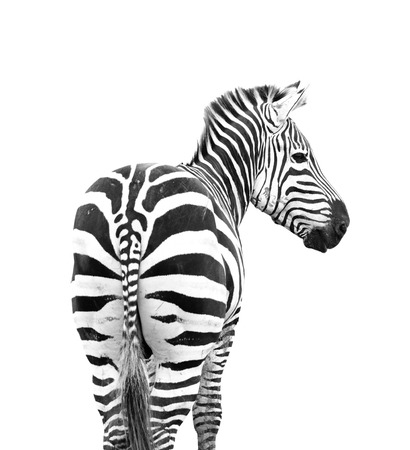 zebra looking back shoot from behind its butt isolated on white background Standard-Bild
