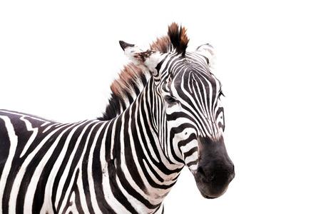 side shot: zebra head side shot isolated on white background