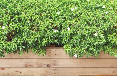 jessamine: Orange jessamine plant bush on wooden tray Stock Photo