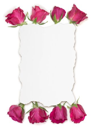 Pink rose flower on teared white paper background Imagens