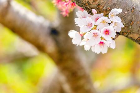 Close up sakura blooming in spring at Kyoto Japan
