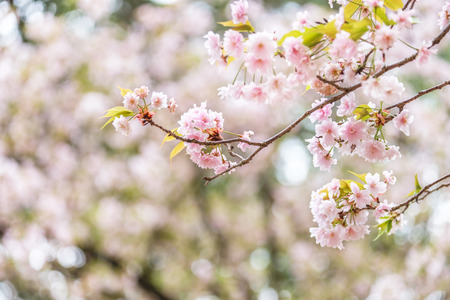 Sakura blooming in spring at Kyoto Japan background Imagens - 100372644