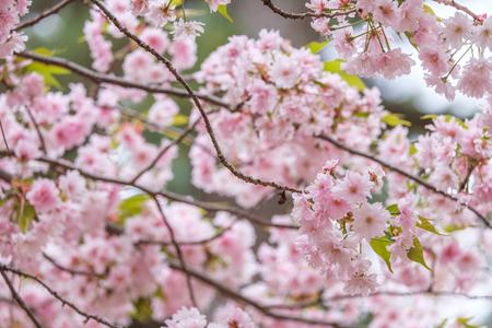 Sakura blooming in spring at Kyoto Japan background Imagens - 100371569