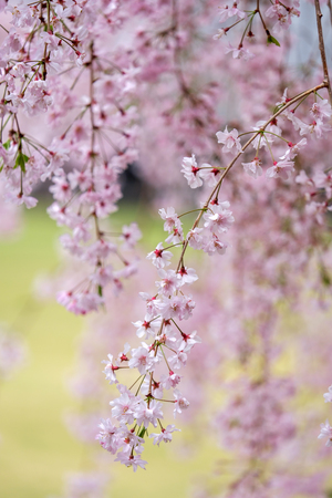 Sakura blooming in spring at Kyoto Japan background Imagens - 100371571