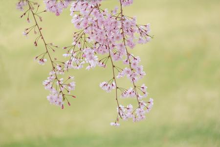 Sakura blooming in spring at Kyoto Japan background Imagens