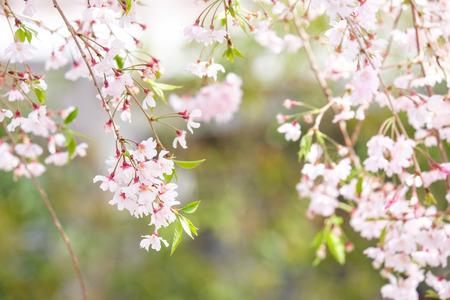 Sakura blooming in spring at Kyoto Japan background Imagens - 100486241