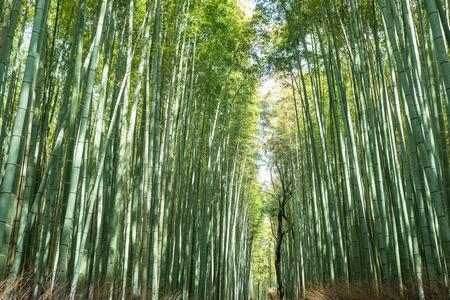 Bamboo walk path Kyoto