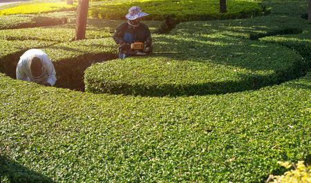 Jardinier en utilisant une tondeuse haie dans le jardin Banque d'images