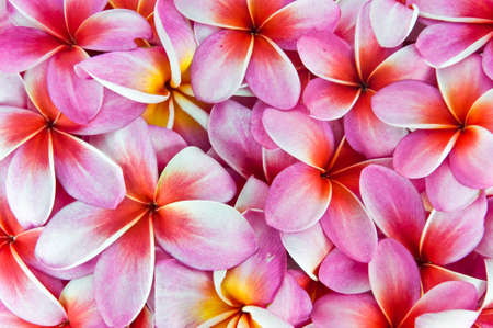 Frangipani flowers, a variety of background colors. Stock Photo
