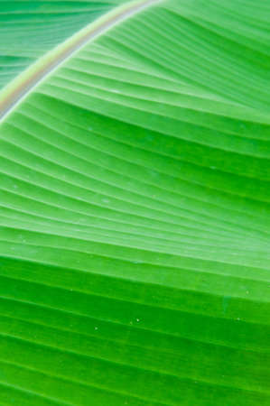 Abstract detail of banana leaf. photo