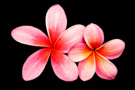 Pink frangipani flowers, two flowers on a black background.